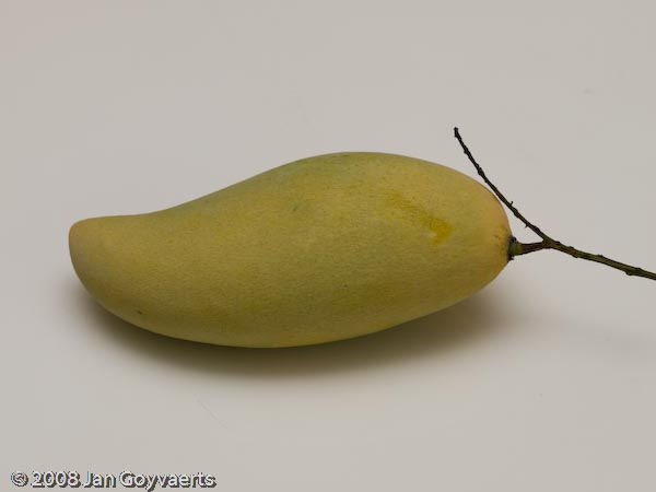 Ripe mango fresh from our garden