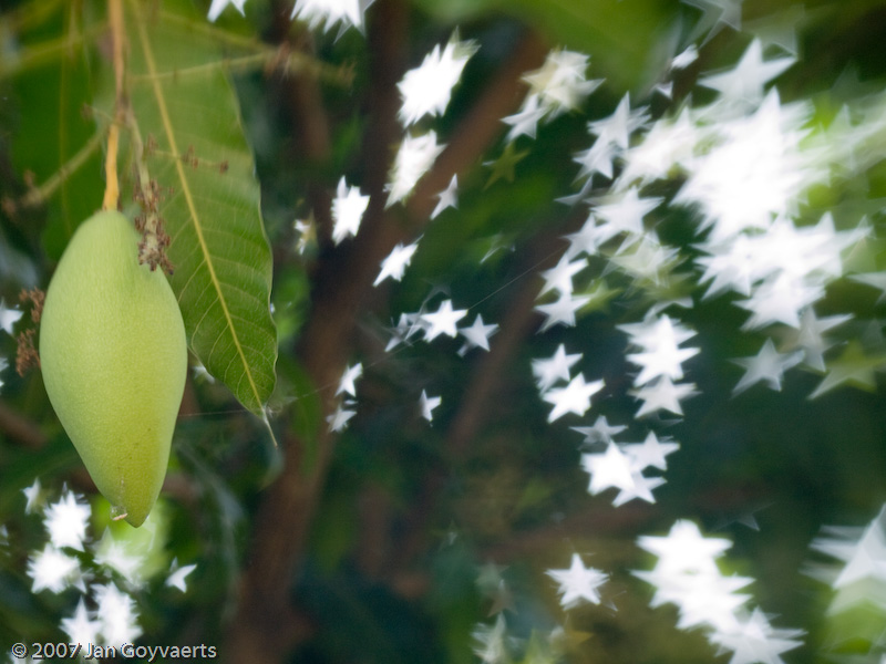 Low-hanging fruit on a mango tree.  Taken with E-510, Lensbaby 2.0 and star-shaped aperture.